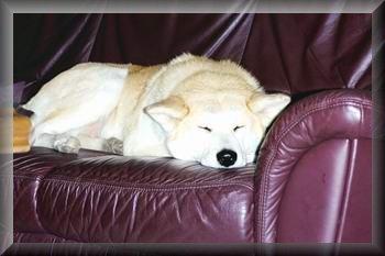 couch-hund